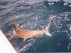 2005_shark